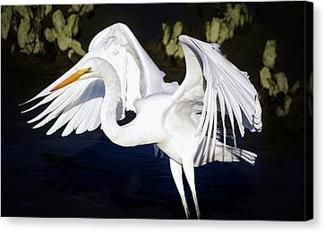 Beautiful Great White Egret Canvas Print by Paulette Thomas