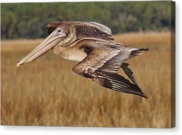 Brown Pelican Canvas Print by Paulette Thomas
