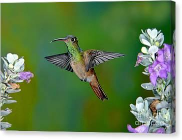 Buff-bellied Hummingbird Canvas Print by Anthony Mercieca