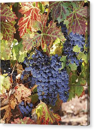 Cabernet Sauvignon Grapes In Vineyard Canvas Print by Panoramic Images