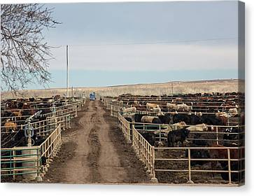 Cattle Feedlot Canvas Print by Jim West