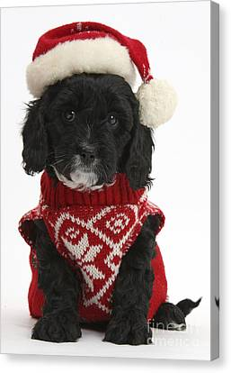 Cavapoo Puppy In Christmas Hat Canvas Print by Mark Taylor