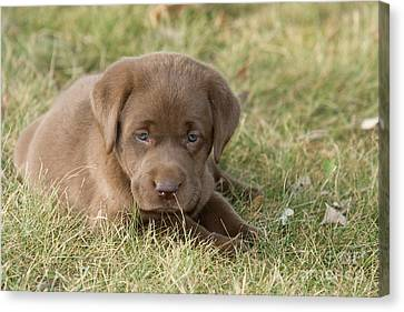 Chocolate Labrador Puppy Canvas Print by Linda Freshwaters Arndt
