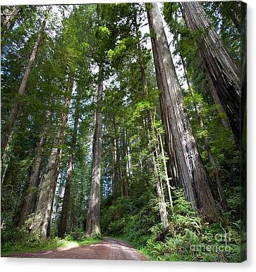 Coast Redwood Forest Canvas Print by Gregory G. Dimijian, M.D.