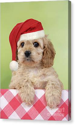 Cockapoo Puppy Dog Canvas Print by John Daniels