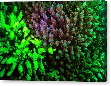Coral Polyps Fluorescing Green Canvas Print by Louise Murray