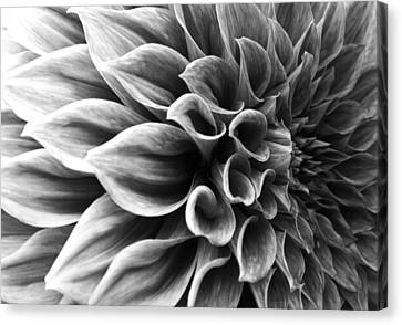 Dahlia Flower Canvas Print by Sumit Mehndiratta