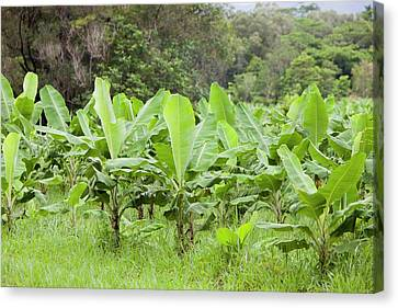 Daintree Rainforest Canvas Print by Ashley Cooper