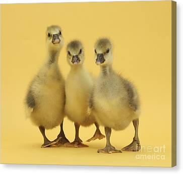 Embden X Greylag Goslings Canvas Print by Mark Taylor