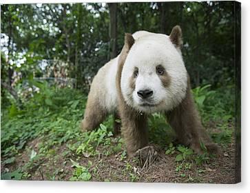 Giant Panda Brown Morph China Canvas Print by Katherine Feng
