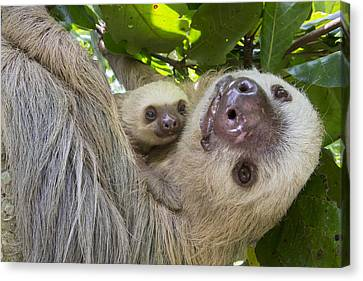 Hoffmanns Two-toed Sloth And Old Baby Canvas Print by Suzi Eszterhas