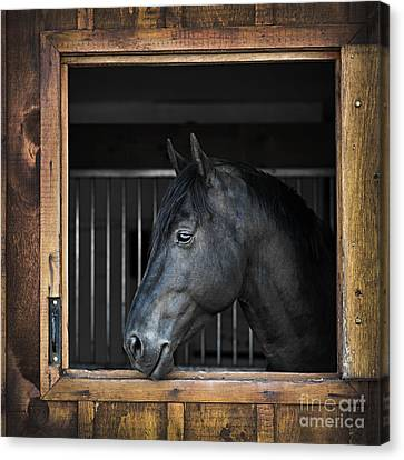 Horse In Stable Canvas Print by Elena Elisseeva