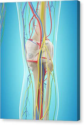 Human Leg Anatomy Canvas Print by Sciepro
