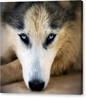 Husky  Canvas Print by Stelios Kleanthous