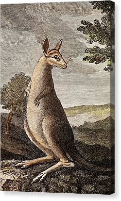 Kangaroo Canvas Print by Paul D Stewart