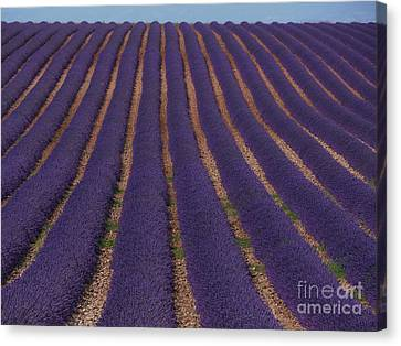 Lavender Field, French Provence Canvas Print by Adam Sylvester