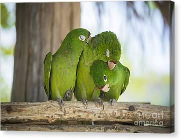 3 Love Birds -206 Canvas Print by Andria Patino