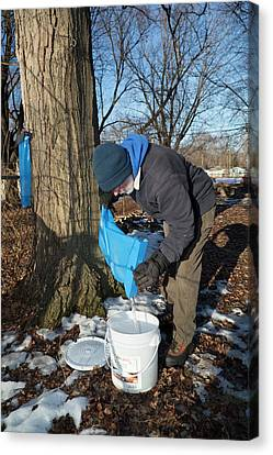 Maple Syrup Production Canvas Print by Jim West