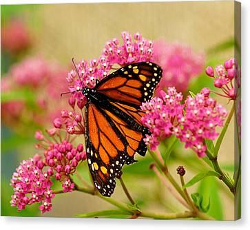 Monarch Butterfly Canvas Print by Carol Toepke