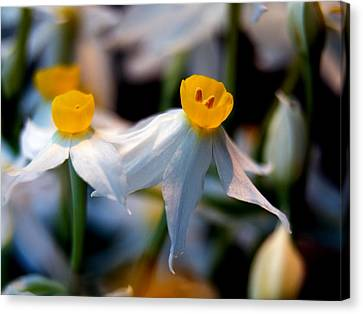Narcissus Tazetta Canvas Print by Stelios Kleanthous