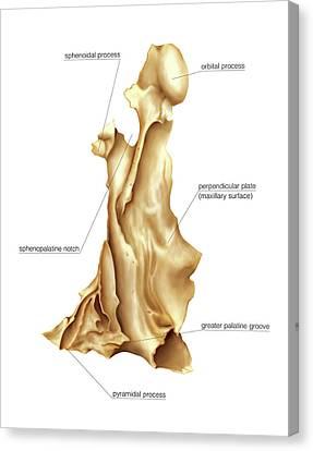 Palatine Bone Canvas Print by Asklepios Medical Atlas