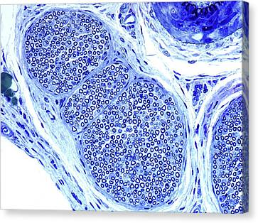 Peripheral Nerve Canvas Print by Microscape