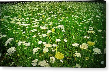 Queen Annes Lace Canvas Print by Carol Toepke