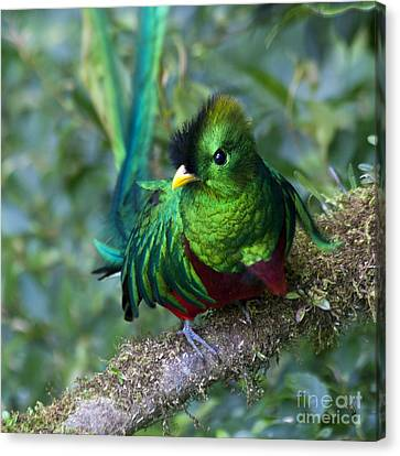 Quetzal Canvas Print by Heiko Koehrer-Wagner