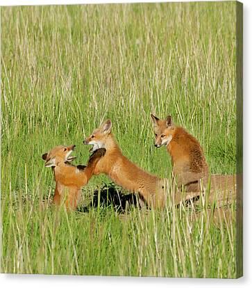 Red Fox (vulpes Fulva Canvas Print by Howie Garber