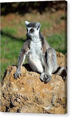 Ring Tailed Lemur Canvas Print by George Atsametakis