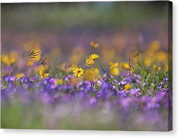 Roadside Wildflowers In Texas, Spring Canvas Print by Larry Ditto