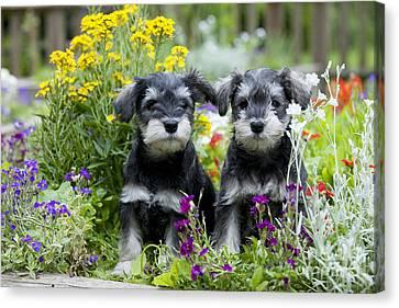 Schnauzer Puppy Dogs Canvas Print by John Daniels