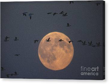 Snow Geese Canvas Print by James L. Amos