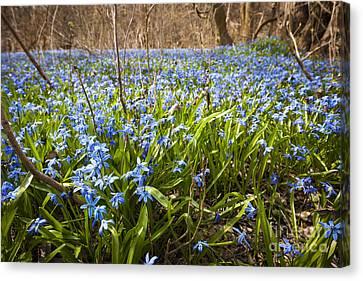 Spring Blue Flowers Canvas Print by Elena Elisseeva