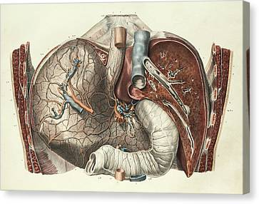 Stomach And Liver Canvas Print by Science Photo Library