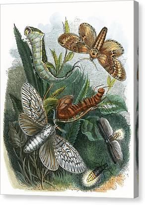 The Butterfly Vivarium Canvas Print by English School
