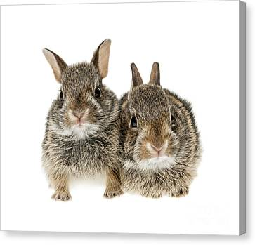 Two Baby Bunny Rabbits Canvas Print by Elena Elisseeva