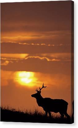 Usa, California, Sunset, Tule Elk Canvas Print by Gerry Reynolds