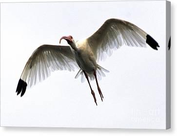 White Ibis Canvas Print by Mark Newman
