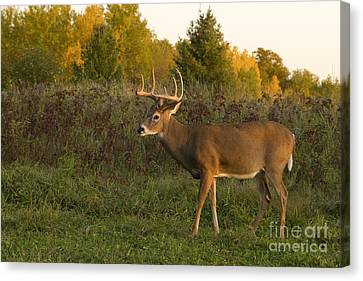 White-tailed Buck In Fall Canvas Print by Linda Freshwaters Arndt