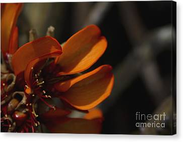 Wiliwili Flowers - Erythrina Sandwicensis - Kahikinui Maui Hawaii Canvas Print by Sharon Mau