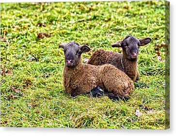 Winter Lambs Canvas Print by Thomas R Fletcher