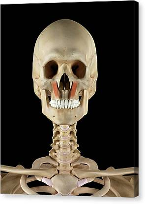 Human Facial Muscles Canvas Print by Sciepro