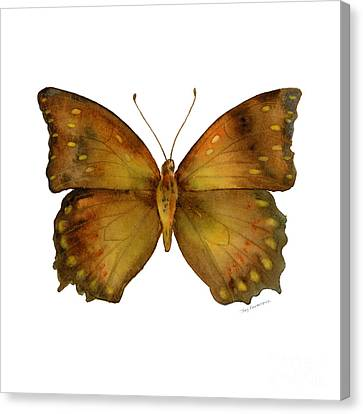 34 Charaxes Butterfly Canvas Print by Amy Kirkpatrick