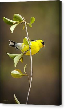 American Goldfinch Canvas Print by Christina Rollo