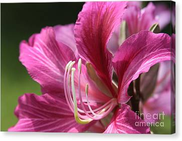 Bauhinia Blakeana - Hong Kong Orchid - Hawaiian Orchid Tree  Canvas Print by Sharon Mau