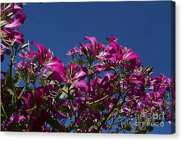 Bauhinia Purpurea - Hawaiian Orchid Tree Canvas Print by Sharon Mau