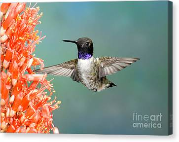 Black-chinned Hummingbird Canvas Print by Anthony Mercieca