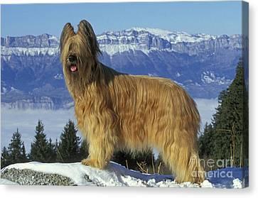 Briard Dog Canvas Print by Jean-Michel Labat