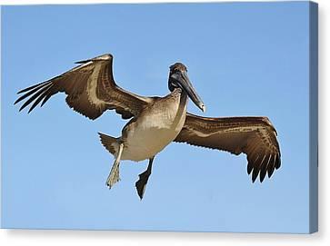 Brown Pelican In Flight Canvas Print by Paulette Thomas